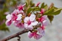 Sakura at Ueno